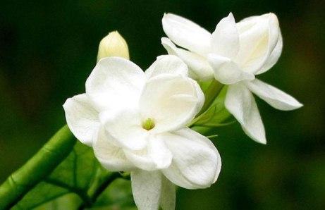 gambar-bunga-melati-2