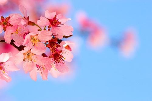 Bunga Cherry Blossom