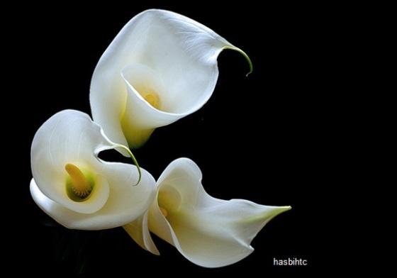Bunga Calla Lily